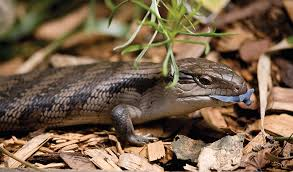 blue-tongue-lizard.jpg