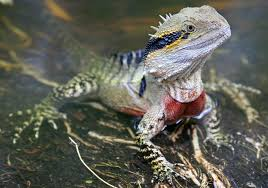 eastern-water-dragon.jpg