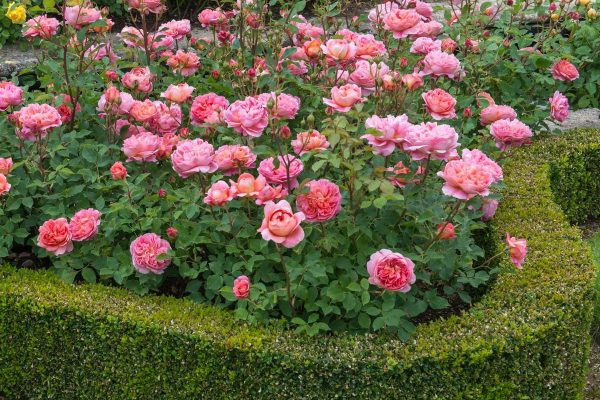 rosesin a hedge